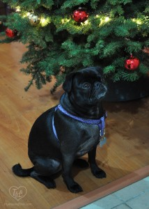 Our Pug Miss Phoebe