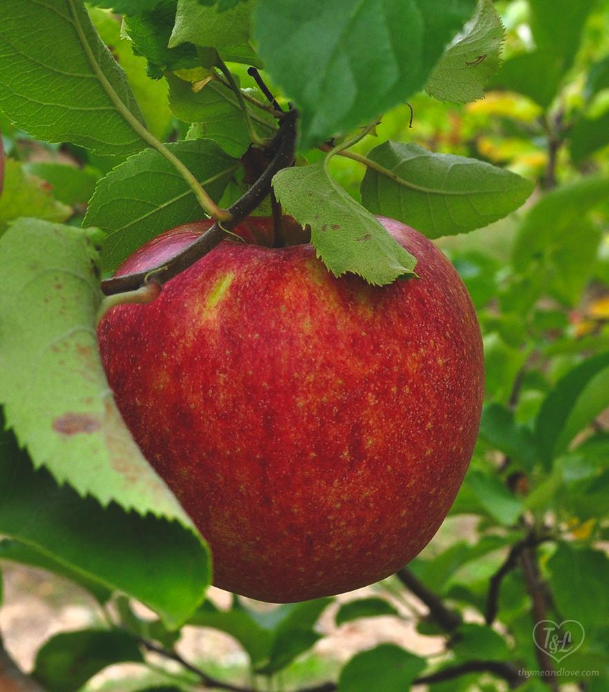 Apple Steel Cut Oats is the perfect fall breakfast! #vegan #oatmeal #apples