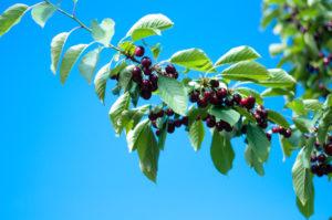 Sweet Michigan Cherries make a delicious sweet treat! #puremichigan #cherries