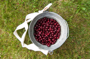 Fresh sweet cherries picked at the local orchard. #puremichigan