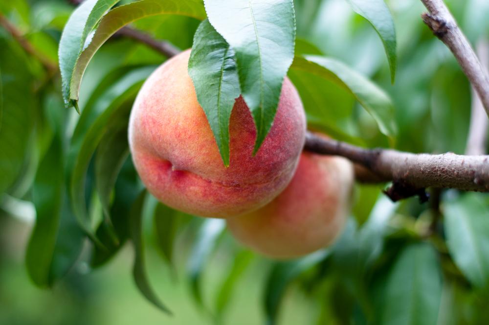 Peach Orchard in Michigan