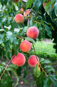 A trip to the local peach orchard. A summer must. #puremichigan