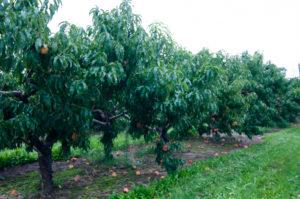 A trip to local peach orchard. #puremichigan