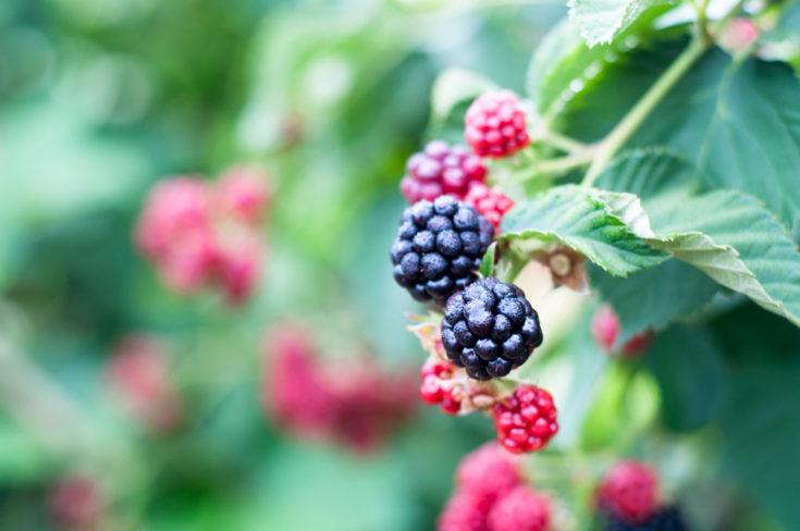 Blackberry Agua Fresca