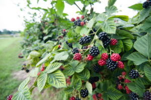 Blackberry picking at a local berry farm. #puremichigan