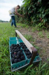 Blackberry picking in West Michigan #puremichigan #summer