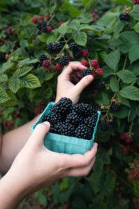 Blackberry U-pick West Michigan
