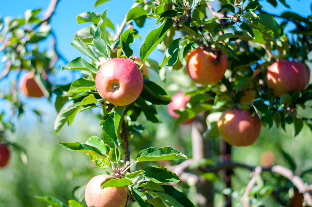 apple-picking-michigan-fall