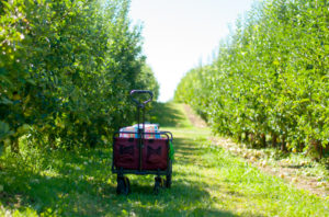 Apple picking at Cranes Orchard in Fennville, Michigan