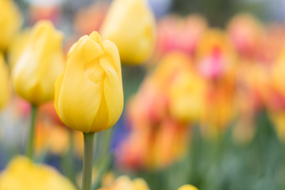 Tulip Time in Holland, Michigan.