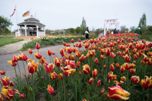 Windmill Island Gardens in Holland, Michigan. This is a must see during Tulip Time!