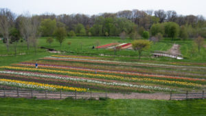 Rows of tulips at Windmill Island Gardens in Holland, Michigan