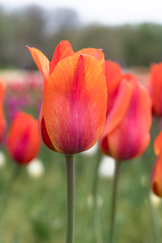 Tulip Time in Holland, Michigan.