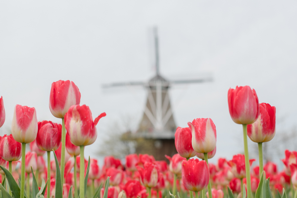 Windmill Island Gardens located in Holland, Michigan. A must visit during Tulip Time.
