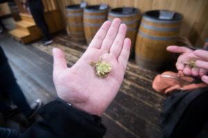 Hops used in making the beer at Samuel Adams Brewery