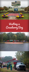 Visting a Cranberry Bog: See all the work that goes into harvest cranberries!