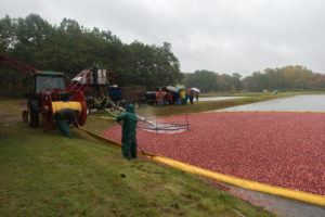 Visiting a cranberry harvest in South Haven, Michigan