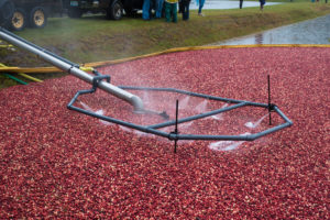 Visiting a cranberry bog: see all the work involved in harvesting the berries