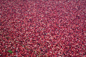 Fresh cranberries being harvested.