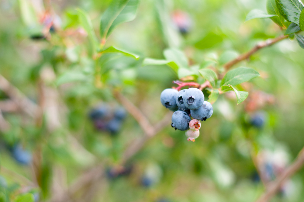 Picking blueberries in Holland, Michigan