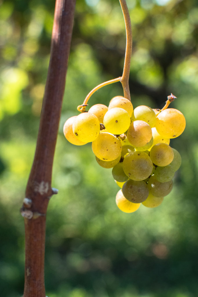 While the beaches are a popular spot to visit, you might not know that Lake Michigan is home to some incredible wineries. The Lake Michigan Shore Wine Trail has the ideal climate for growing grapes. In fact 90% of Michigan's vineyards are located along the Lake Michigan Shore Wine Trail.