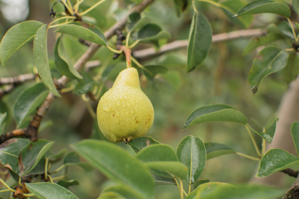 Bartlett pears are in season from late August and early September and usually available through December or January.